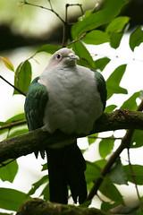 ndut (M3R) Tags: green bird animal grey zoo leaf singapore branch feather canon400d canonef70200mmf4lisusm photofaceoffwinner mariaismawi