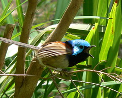 A Variegated Fairy Wren Bursts Into Song (ianmichaelthomas) Tags: friends birds australia healesville victoria wrens variegatedfairywren fairywrens animaladdiction australiannativebirds mywinners wildlifeofaustralia animalcraze worldofanimals auselite colourartaward healesvillesanctaury secretlifeofbirds happinessconservancy singingandcalling fairywrens flickrlovers vosplusbellesphotos