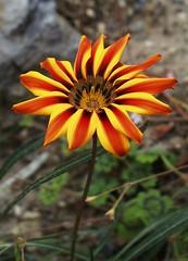 Firestar (Blue   Petunia) Tags: flowers spring gazania stern feuer frhling blten flammen compositae hybride