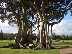Banyan Tree on Turtle Bay Palmer Course (Kevin & Kathy) Tags: hawaii oahu banyantree