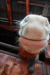 kiss me (ValeP_canon) Tags: stalla cavallo scuderia bocca bacio peli narici kisscavalloboccapelistallascuderianaricibaciokiss