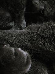 Taka & Myla (Ciuffina) Tags: love cat paw sleep embrace taka myla certosino norvegese bestofcats