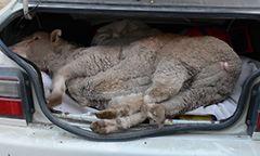 Kinship Circle - 2008-02-16 - Bound & Dragged -- Stop Live Animal Export 01