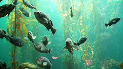 Monterey Bay Aquarium (- Burning Rubber -) Tags: california vacation usa fish film nature movie geotagged aquarium coast monterey video pacific urlaub natur montereybayaquarium montereybay 2006 explore hdv fishes 169 videoclip videos kalifornien kste wasservgel burningrubber pazifik videofilm kurzfilm explored madeittoexplore sonyhdrhc3e filmlet bestvideosflickr geo:lat=3661815285198846 geo:lon=1219018053644532