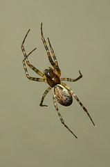 Neriene montana ( Female) (Paul Knapper) Tags: spider spiders summer autumn winter spring macro closeup paulknapper magnification canon sony hx60v
