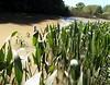 Pickerelweed (Pontederia cordata var. cordata) AGUAPEY ~ Original = (3500 x 2727) (turdusprosopis) Tags: aquaticplants pickerelweed pontederiacordata deltadeltigre pontederia pontederiaceae wampee plantasacuáticas deltadelparaná monocotyledonae floraargentina rainhadoslagos pickerelweeds mururé plantasargentinas plantasdeargentina islasdeldelta plantasdeldelta plantasautóctonasargentinas plantasautóctonasdelaargentina floraautóctonaargentina floraautóctonadeargentina plantasnativasargentinas plantasnativasdeargentina plantasnativasdelaargentina floradeldelta floradelaargentina floradeargentina plantasautóctonasdeargentina floraautóctonadelaargentina floranativabrasileira floranativadobrasil floradobrasil argentineindigenousplants pontederiáceas plantasparaacuarios plantasdeacuario pontederias pontederiacordatavarcordatal pontederialanceolata pontederianymphaeifolia pontederiaangustifolia pontederiasläktet pontederiacordatavarlancifolia vattenhyacintväxter enhjärtbladiga plantasparaacuario orelhadeveado plantasdelasislasdeldelta plantasdeltigre