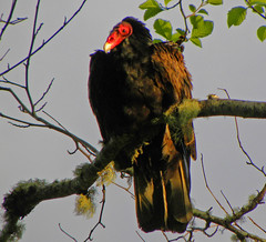 Turkey Vulture Profile (jkeenan501) Tags: turkey vulture carrion birdsofprey northamericanbirds birdsofnorthamerica birdsoforegon birdsofthenorthwest birdsofthepacificnorthwest