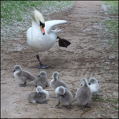 The kids weren't too impressed by mum's dancing (Brian Negus) Tags: lake bird animals swan leicestershire cygnet squareformat loughborough sdcc charnwood charnwoodwater blindphotographers lmaoanimalphotoaward citrit goldenheartaward magicunicornverybest