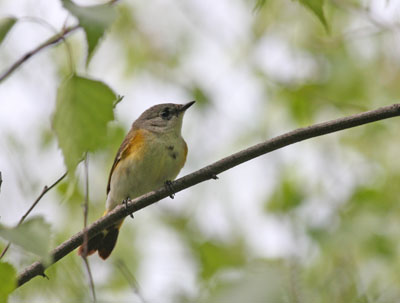 young male American Redstart