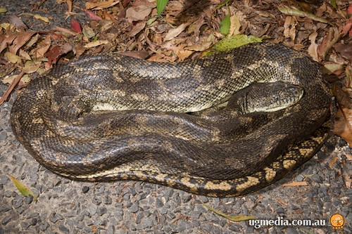 Coastal carpet python (Morelia spilota mcdowelli)