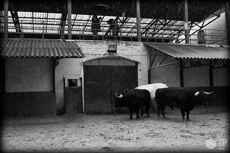 Toro-Conde-de-la-Corte-3