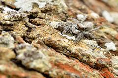 Minimal Bounce (Javier_Lpez) Tags: naturaleza macro nature nikon spyder araa javier barranco tamron90mm santapola lpez saltarina thomisidae d7000 javierlpez
