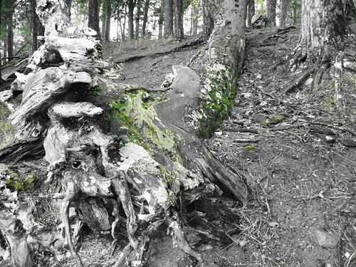 old man timber