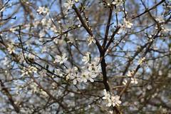 Sie werden schon mehr... (julia_HalleFotoFan) Tags: germany sonne frühling prunus mirabelle sonnenschein hallesaale sachsenanhalt wildemirabelle