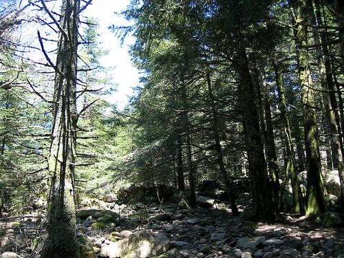 La forêt après le col 1225: suite du sentier vers Bocca di Funtanella