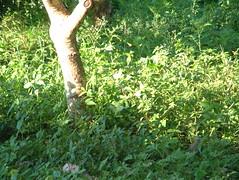 Periquito e pombinha: onde? Parrotlet and dove: where? (vini00) Tags: brazil vacation bird birds brasil eareddove zenaidaauriculata bluewingedparrotlet forpusxanthopterygius