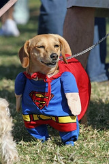 US-HALLOWEEN-DOGS COSTUME PARADE (jakejacobsen) Tags: dog pet halloween vertical unitedstates contest parade longbeach offbeat moviecostume