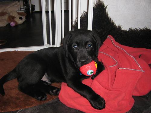 labrador retriever puppy - Ben