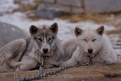 Canadian Eskimo Dog puppies (Rolf Hicker Photography) Tags: world travel dog canada cute dogs animal animals puppy mammal photography tiere puppies photos manitoba churchill cutedogs mammals hudsonbay naturephotography travelphotography canisfamiliaris rolfhicker canadapictures canadianeskimodogs canadaphotography honeymooncanada canadianeskimodog picturesofcanada hickerphotocom