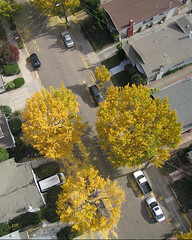 Autumn ginkgos in Berkeley (Michael Layefsky) Tags: kap kiteaerialphotography aerial berkeleyca derbyst autumn trees ginkgo