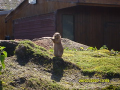 Marmots (disturbed_spike2004) Tags: zoo chester marmots