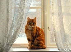 A quiet day at home (Miss Claeson) Tags: winter snow window cat nikon sweden curtain creativecommons dalar d80 nikond80 bestofcats