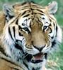 Tiger resting. (gsb_viva) Tags: superb unique class lions wildanimals natureanimals shaani beautifulcapture superbshot wildbeauties gsbviva uniqueclass superbclass