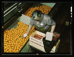 Packing oranges at a co-op orange packing plan...
