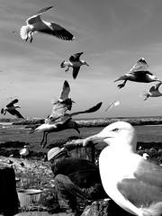 Gull >P< (Monia Sbreni) Tags: africa bw fisherman mare noiretblanc zwartwit gull bn volo morocco maroc marocco schwarzweiss marruecos pretoebranco essaouira bianconero gabbiani marokko gabbiano biancoenero moroccan pescatore 2007 marrocos volare svartvitt blackandwithe moniasbreni