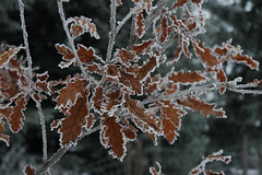 frosty leaves (wishfish) Tags: walking frostyleaves outofprague