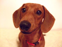 about to say something? (ilhk_) Tags: red dog brown white cute smile up closeup mouth puppy point nose miniature eyes shoot open close january adorable ears mini ps dachshund explore wiener finepix expressive fujifilm about collar something say 13th wienerdog dackel teckel 168 minidachshund doxie f50fd