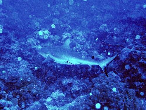 帛琉藍角 鯊魚共游