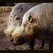 pig image, photo or clip art