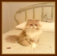 Toby I Will Only Be Gone For Awhile (iwork4toby) Tags: red cat persian persiancat redpersian theworldisbeautiful luv2explore