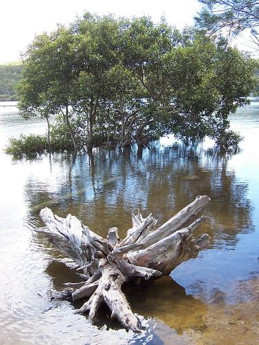 Mangrove grove Yattalunga foreshore