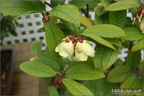 DSC_7190凹脈金花茶(花卉試驗中心)