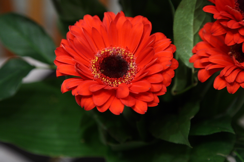 Gerbera daisy - improved