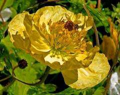 To Bee Real (oybay) Tags: winter arizona flores flower macro yellowflower bee february spherize florea impressedbeauty diamondclassphotographer