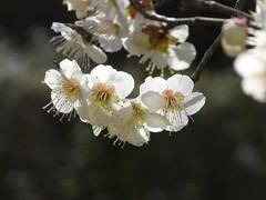 Flower of a plum at Osaka Tenmangu (jtabn99) Tags: flower japan plum   tenjinbashisuji   osakatenmangu