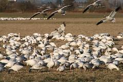 Snow geese (Global Hermit) Tags: goose reifel snowgeese westhamisland