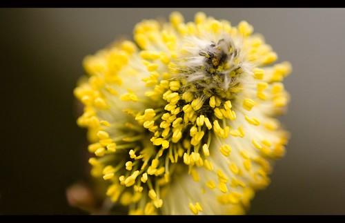 Blühende Weidenkätzen