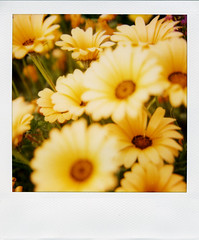 merced 001 (tmatthewc) Tags: polaroid sx70 600 mercedcalifornia savepolaroid rednecksandflowers