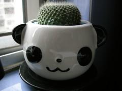 熊貓頭上的仙人掌