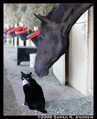 Perusal the Horse and Evil the Cat (Rock and Racehorses) Tags: horse ny barn cat belmont evil phipps thoroughbred barncat animalkingdomelite bestofcats perusal barnkitty