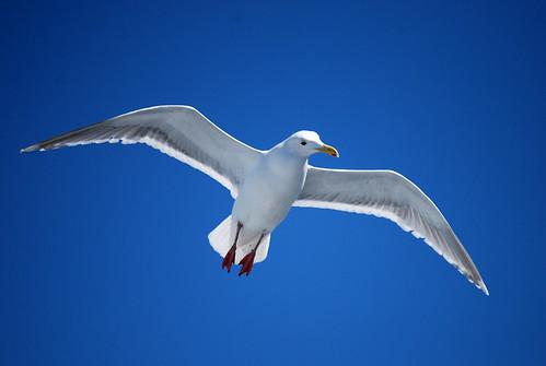 23-Seagull Headturn