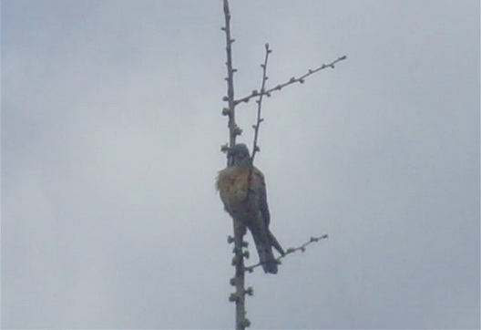Hawk Chick