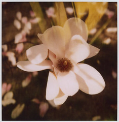 magic petals - look closer (flybutter) Tags: film polaroid spring blossom tuesday magnolia slr680 endofdays fordhamuniversity flybutter roidweek2008