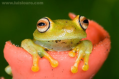 Hyla granosa (Lus Louro) Tags: color macro nature animal ilovenature ecuador rainforest wildlife amphibian frogs planet tropical wildlifephotography 1on1macros anuran anawesomeshot nikonluislouro