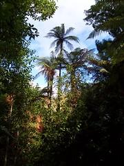 Tree ferns in New Zealand (North Island) (cangaroojack) Tags: trees newzealand tree forest ferns palme farn neuseeland treefern palmen nordinsel baumfarn palmfarn cyatheales baumfarne