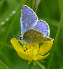 Blue and Buttercup